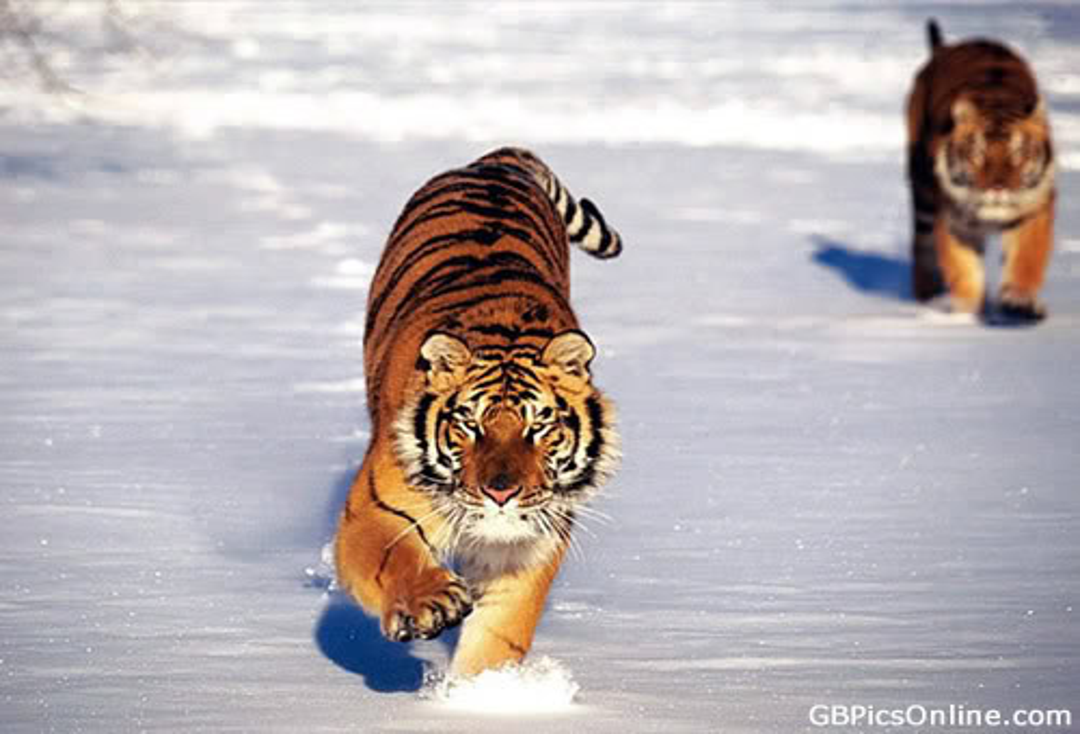 Tiger bild 9
