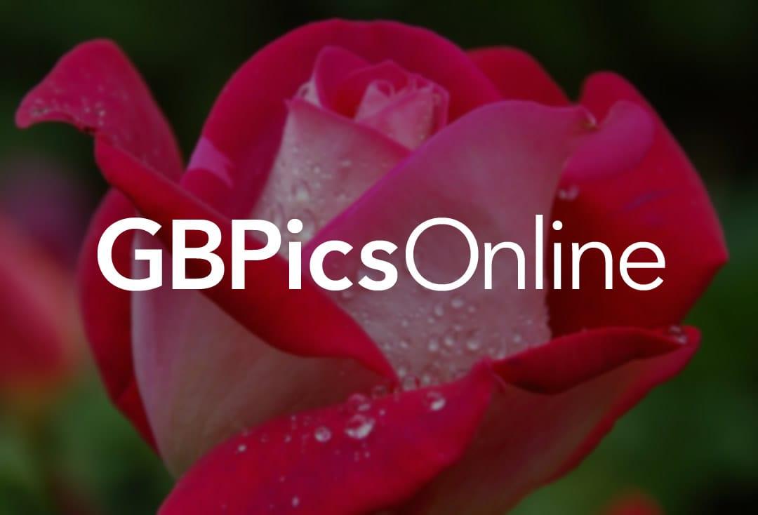 Wolf heult während des...