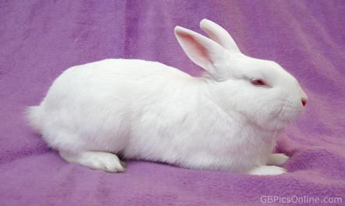 Weißer Hase liegt auf...