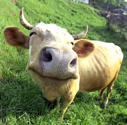 Kuh auf Gras grinst wie auf...