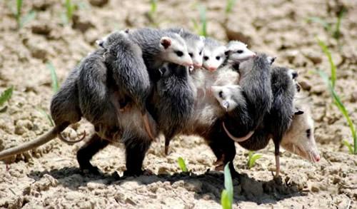 Opossum-Dance