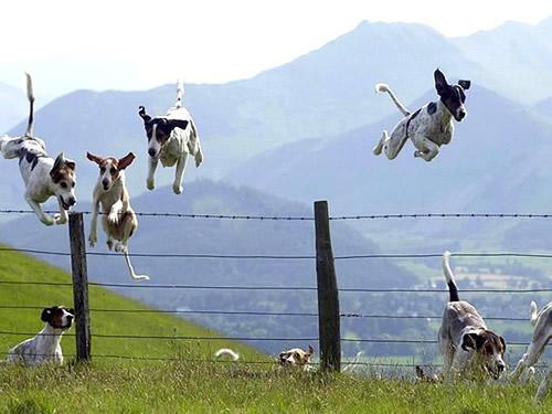 Hunde springen über einen...