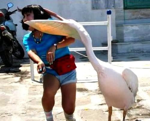 Pelikan verspürt Hunger nach Gesichtern