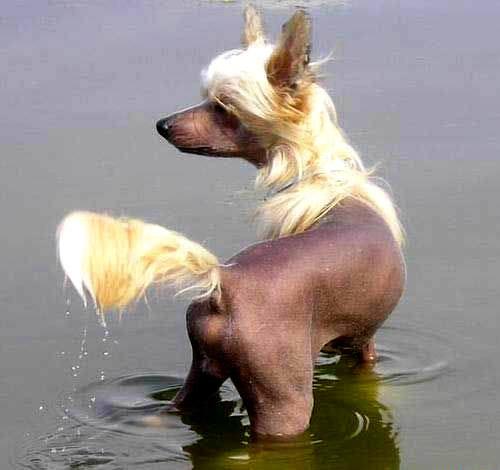 Hund geht mit blonder Perrücke baden