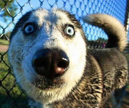 Husky blickt entsetzt in die...