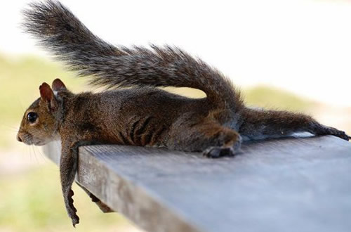 Eichhörnchen checkt vorsichtig die Höhe