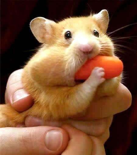 Hamster muss auf die harte Tour lernen, wofür Zähne eigentlich gedacht sind.