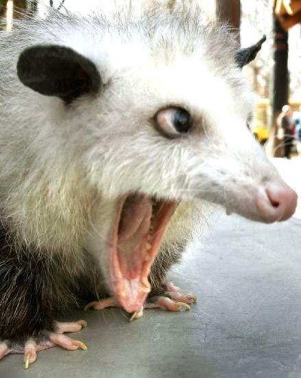 Opossum verliert den Verstand