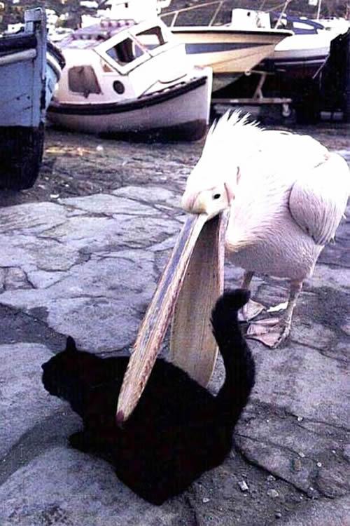 Pelikan versucht, eine schwarze Katze zu...