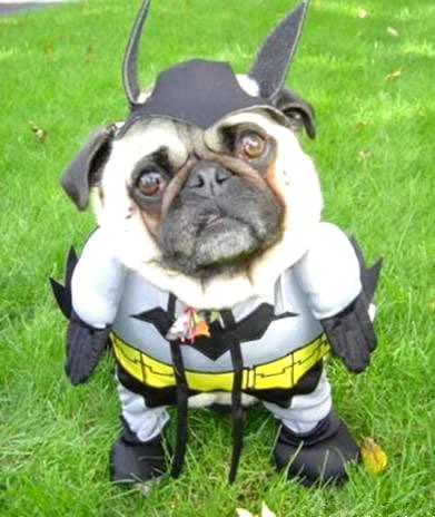 Nicht der Mops, den Gotham...