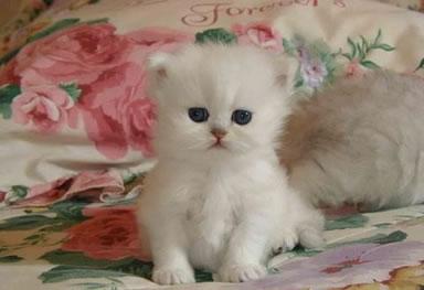 Niedliche, weiße Katze mit blauen Augen