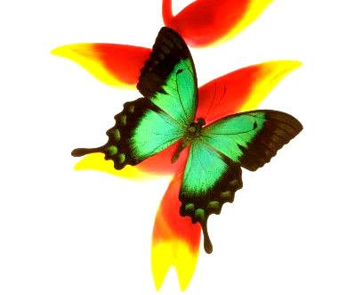 Schmetterlinge bild #8075