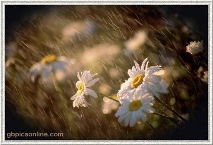 Gänseblümchen im Regen