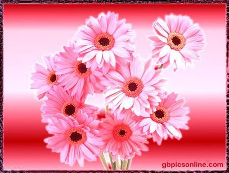 Gänseblümchen im pinken Schimmer