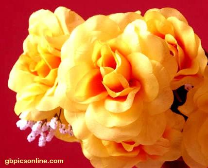 Blüten gelber Rosen