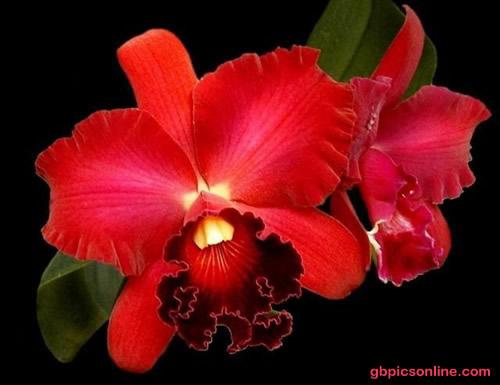 Orchidee in sattem Rot