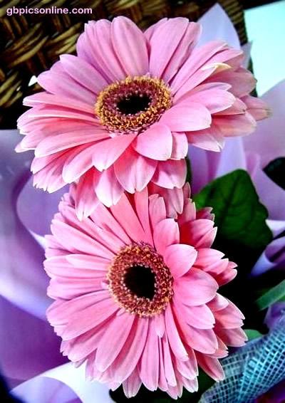 Gerberas in saftigem rosa