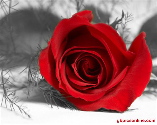 Rose liegt im Schnee