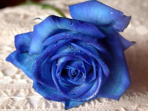 Blaue Rose ziert weiße...