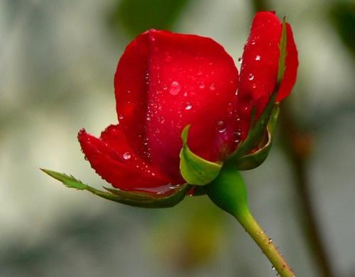 Eine vom Tau befeuchtete Rose