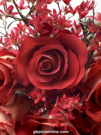 Rose im naturalen Mittelpunkt