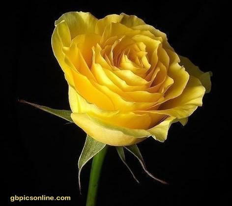 Gelbe Rose vor schwarzem...