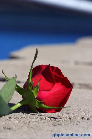 Rose auf kargem Grund