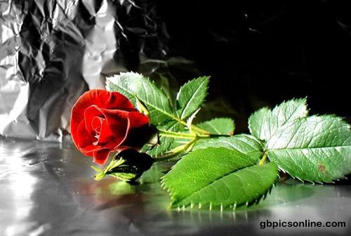 Rote Rose allein auf weiter...