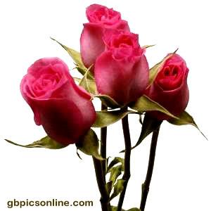 Vier pinke Rosen vor weißem Hintergrund