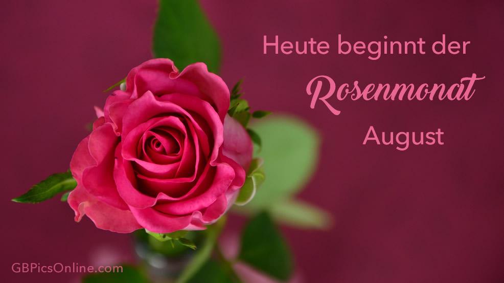 Heute beginnt der Rosenmonat August.