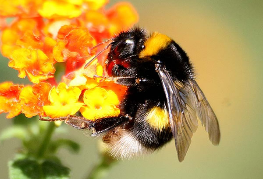 Nahaufnahme einer bestäubenden Biene