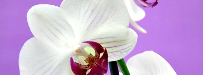 Weiße Orchidee vor violettem Hintergrund