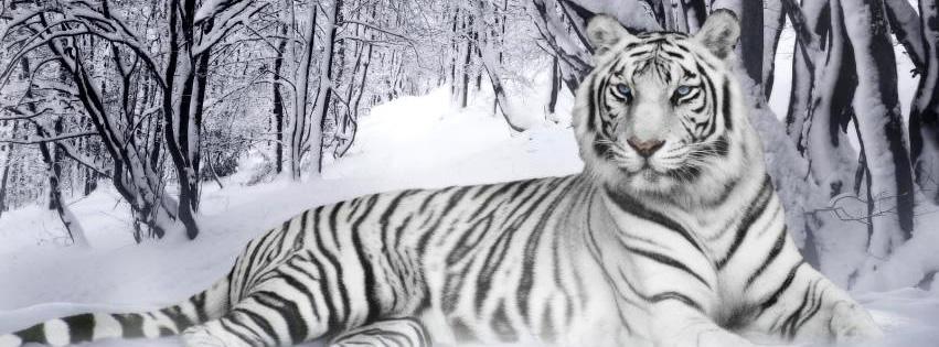 Anmutiger weißer Tiger